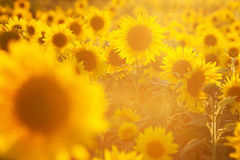 Glowing sunflower field Stock Photos