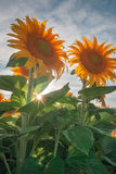 Glowing Sunflowers of the California Royalty Free Stock Photo