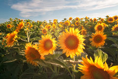 Glowing Sunflowers of the California Royalty Free Stock Photography