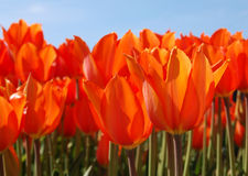 Glowing Tulips. Beautiful orange tulips glowing from the sunshine Stock Photo