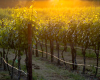 The glowing vines of a Napa vineyard at sunset Royalty Free Stock Image