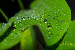 Glowing Water Drops Marco Shot Selected Focus Bokeh. Glowing Water Drops or Droplets on green leaves of Sugar Apple a Marco Shot Selected focus bokeh Stock Photography