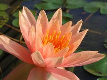 Glowing  Water Lily. In a fish pond Stock Photography