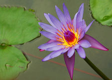 Glowing Water Lily Royalty Free Stock Photos