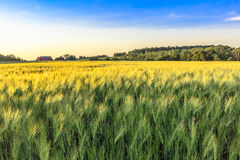 A glowing wheat field. Farmers wheat field glowing from the late day sun Stock Photography