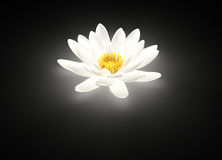 Glowing white lotus flower water lily stock photography