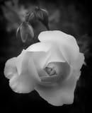 Glowing white rose Stock Photos
