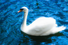 Glowing white swan Stock Images