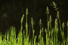 Glowing Wild Grass stock image