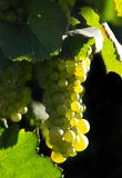 Glowing wine grapes. Glowing golden wine grapes Royalty Free Stock Photography