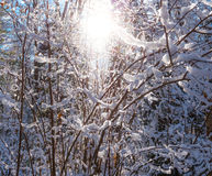 Glowing winter sun through snow covered bush branches. Royalty Free Stock Image