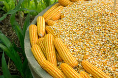 Glowing yellow corn seed. And food production leads to the next Royalty Free Stock Photo