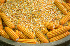 Glowing yellow corn seed. And food production leads to the next Royalty Free Stock Images