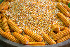 Glowing yellow corn seed. And food production leads to the next Royalty Free Stock Photos