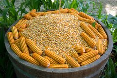 Glowing yellow corn seed. And food production leads to the next Stock Image