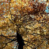 Glowing yellow leaves on the trees at Nunburnholme East Yorkshire England Royalty Free Stock Images