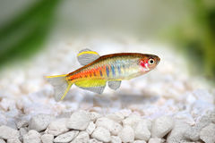 Glowlight Danio Danio choprai freshwater aquarium fish stock photo