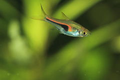 Glowlight rasbora Stock Photography