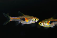Glowlight Rasbora Stock Images