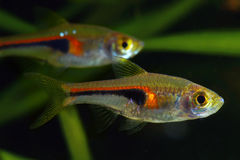 Glowlight Rasbora Royalty Free Stock Photography