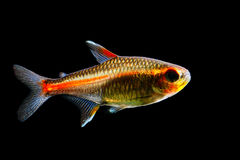 Glowlight Tetra Stock Image