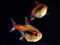 Glowlight Tetra fish Royalty Free Stock Image