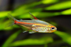Glowlight Tetra fish Stock Photos