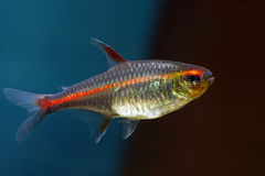 Glowlight Tetra Stock Photography