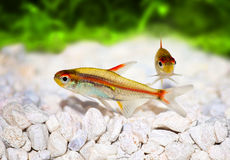 Glowlight Tetra Hemigrammus erythrozonus Royalty Free Stock Photo