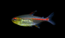 Glowlight Tetra ryba Obrazy Stock