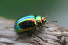 Glowworm - green bug. Beautiful bug with an iridescent metal outflow Stock Images