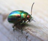 Glowworm - green bug close up. Beautiful bug with an iridescent metal outflow Stock Image