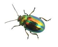 Glowworm - green bug close up isolated on white Royalty Free Stock Photo