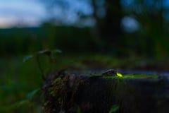 Glowworm Stock Photos