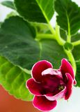 Gloxinia. A potted furry plant sprouting new buds of purple flowers Stock Photo