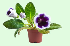 Gloxinia. Royalty Free Stock Photography