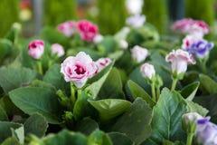 Gloxinia blommar i trädgård royaltyfri fotografi