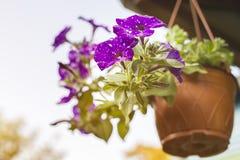 Gloxinia con las flores púrpuras Fotografía de archivo libre de regalías