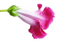 Gloxinia del fiore Fotografia Stock Libera da Diritti