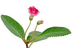 Gloxinia flower Royalty Free Stock Image