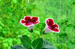 Gloxinia flower Stock Images