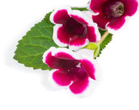 Gloxinia flowers on a green leaf Stock Photo