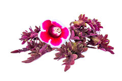 Gloxinia flowers on a red painted nettle Stock Images