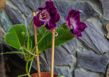Gloxinia and gray stones Royalty Free Stock Photos