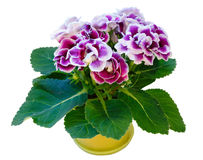 Gloxinia plant with violet-white flowers on white. Gloxinia plant with violet-white flowers in flowerpot on white stock photo