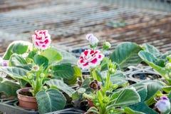 Gloxinia& x28; Sinningiaspeciosa& x29; Royaltyfri Foto