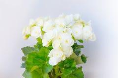 Gloxinia, wachsende weiße blühende blühende Houseplants mit dem grauen Wandhintergrund, kultiviert als Innendekoratives oder deko lizenzfreie stockfotos