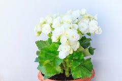 Gloxinia, wachsende weiße blühende blühende Houseplants mit dem grauen Wandhintergrund, kultiviert als Innendekoratives oder deko lizenzfreie stockfotografie