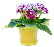 Gloxiniainstallatie met violet-witte bloemen op wit Stock Foto