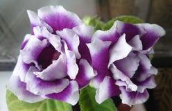Gloxinias agradables Foto de archivo